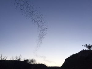 Selman Bat Cave - Mexican Free-Tailed Bats in Oklahoma